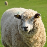 Schurwolle und Wollmischungen